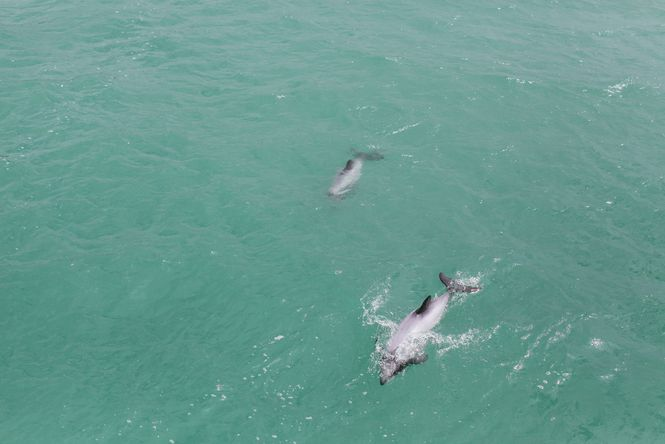 Dolphins swimming in Akaroa Harbour