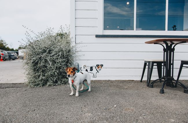 A dog waiting outside Little Vintage Espresso cafe Amberley, North Canterbury.