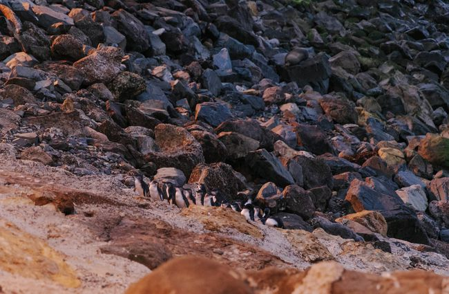 Blue penguin colony at dusk.