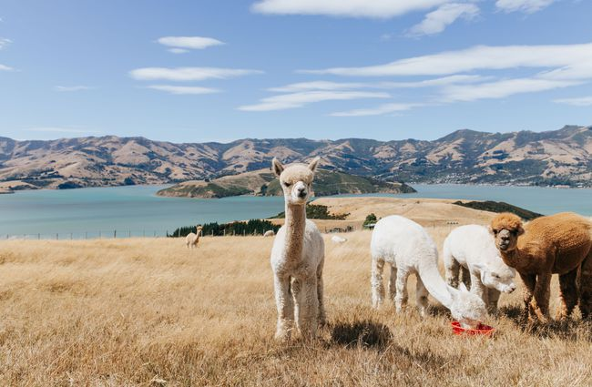 Alpacas eating on the Banks Peninsula.
