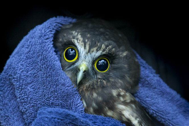 A rescued morepork.